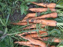 Fresh carrots, harvest 2019.