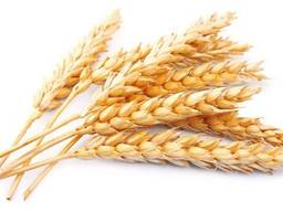 Пшеница 2,3 класс CIF, CFR