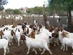 Pure Blood Mature Boar Goats for sale