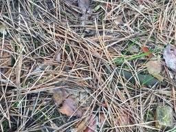 Сосновый опад, мульча сосновая, опад хвойный , хвоя сосновая, хвоя, иголки сосновые